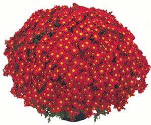 Garden Mum-Alcala Red