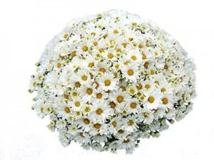 Garden Mum-Margo White