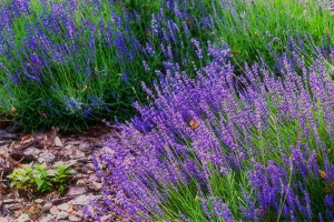 Mosquito Control-Lavender