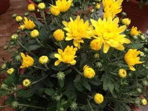Mum-Cesaro Yellow
