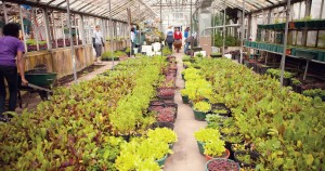 Growing Power Lettuce