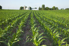 Young Healthy Corn Field