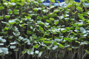buckwheat-microgreens