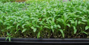 cilantro-microgreens