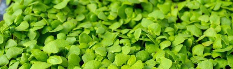 genovese-basil-microgreens