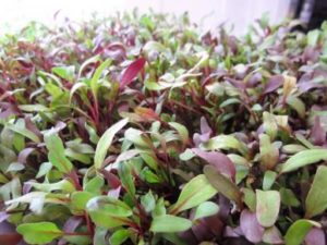 microgreens-beet-bulls-blood