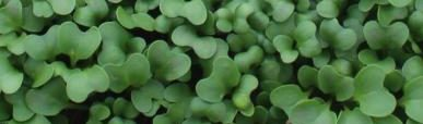 microgreens-broccoli