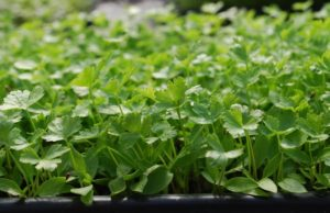 parsley-microgreens