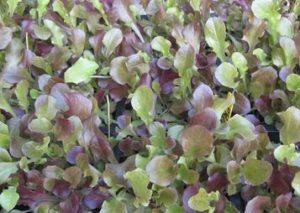 red-rubins-microgreens
