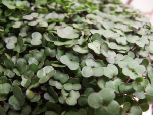 red-russian-kale-microgreens