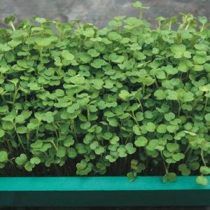 triton-radish-microgreens