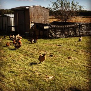 Homestead Chickens